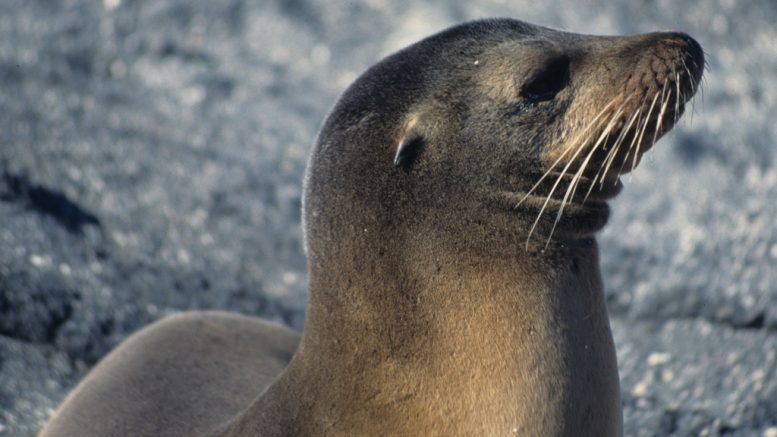 https://commons.wikimedia.org/wiki/File:Gal%C3%A1pagos_sea_lion-_portrait_with_a_double_chin_(5759226472).jpg